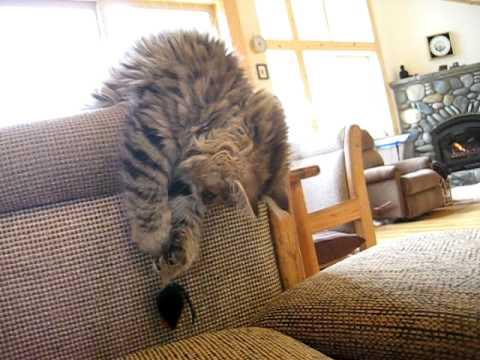 cutest Siberian cat playing