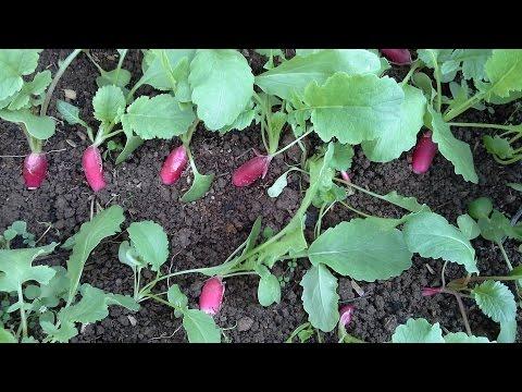 видео: Как у меня в теплице растет редис, уход, сорта,первый урожай