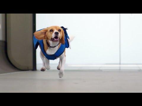 Good Smart Beagle Adorable Dog - hqdefault  Best Photo Reference_925716  .jpg