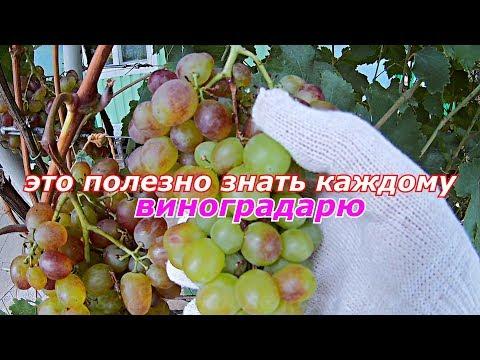 Почему вянут грозди винограда.Полезные советы
