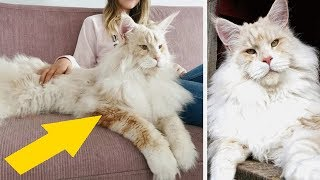 Cat Owner Shares Breathtaking Photos Of Her Maine Coon, And It's Crazy How Big It Is