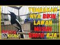 Kacer Gacor Ngobra Nembak Isian Mewah Cocok Buat Pancingan Kacer Yang Males Bunyi Macet Bunyi  Mp3 - Mp4 Download