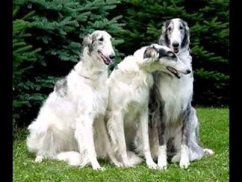 A Borzoi Dog Borzoi Dog Pupp...