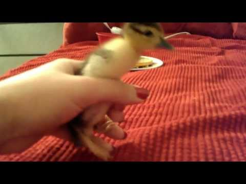 2 Day Old Baby Duck Running Around On My Bed