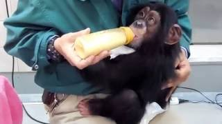 2014/03撮影 高知県立のいち動物公園のチンパンジー。 人工哺育のチンパ...