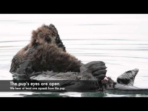 Minutes Old Newborn Sea Otter Pup
