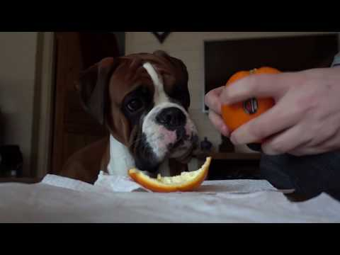 Adorable Boxer Dog Eating An Orange With Dad 🍊❤️