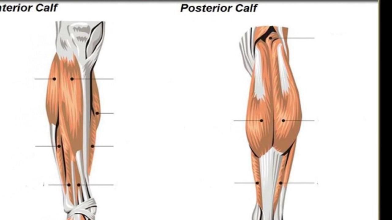 Anatomy Of The Calf Musclesbrevis Extensor Digitorum Longus