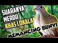 Perkutut Lokal Suara Merdu Khas Lokal Alam Untuk Pancingan Bunyi  Mp3 - Mp4 Download