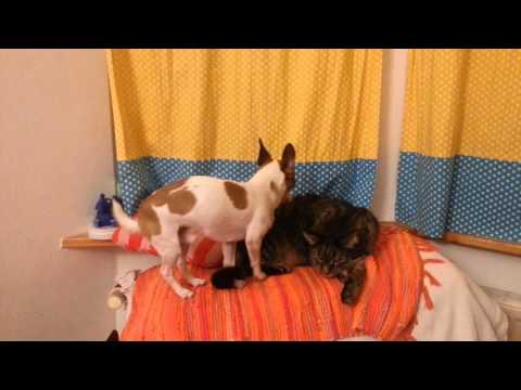 Dog humps Cat - Chihuahua Jack Russel Mix Stink loves Mr Cat just a little bit too much