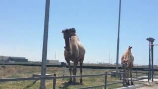 В Актау живет поющий верблюд. Видео
