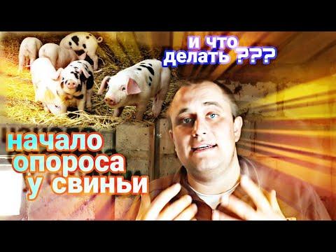 Вопрос: Как понять что свинья скоро опоросится?