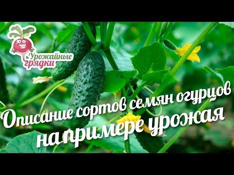 Сорта семян огурцов