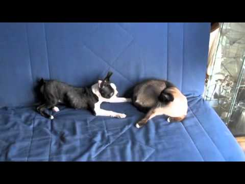 boston terrier and cats boston terrier vs siamese cat youtube 8871