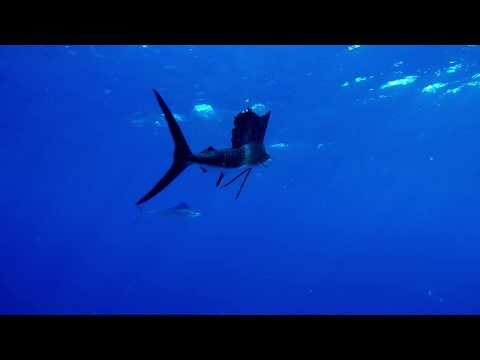 Swimming With Sailfish And Baitball