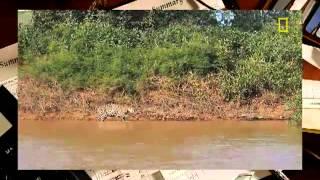 Схватка ягуара против крокодила