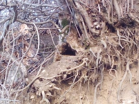 Hunter found the burrow of a wolf. den of wolves found in the mountains hard to reach places