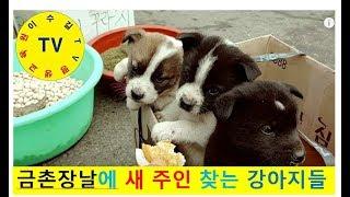 금촌장날에 임진강나루터 출생 강아지들 이야기♥한국장터문…