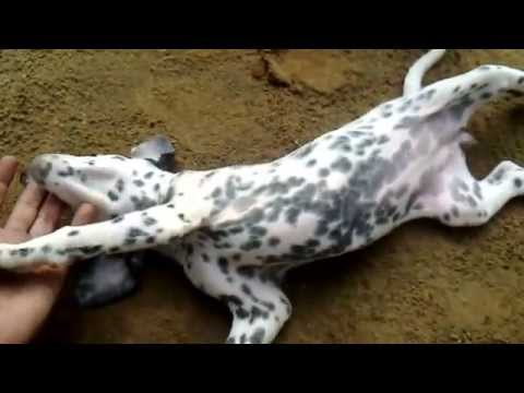 Dalmatian puppies Petlovers 3 bite my finger again ESK TV