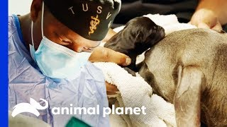 Dr Blue Helps Deliver Puppies With Emergency C-Section | The Vet Life