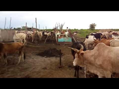 দক্ষিণ সুদানের কোরবানি গরুর বাজার দেখুন Cow Bazar in South Sudan