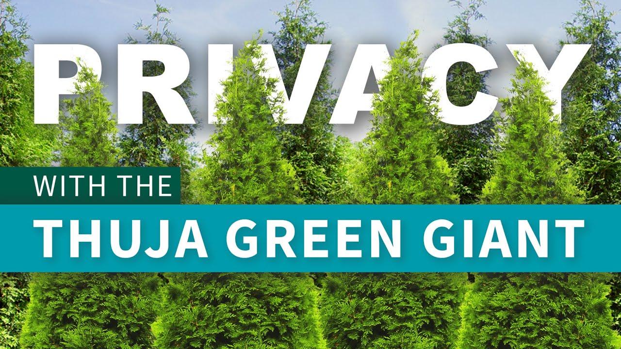 Thuja Green Giant Fastgrowingtrees