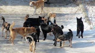 Жителей агрогородка в Дзержинском районе держит в страхе стая бездомных собак