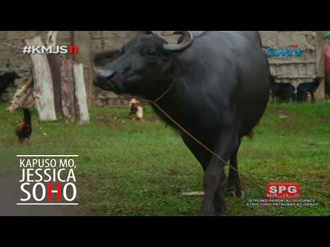 Kapuso Mo, Jessica Soho: Ang nagwalang kalabaw sa Ozamis City