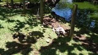 утята. Ботанический сад Маврикий. 20102021