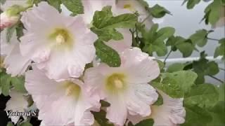Городские цветы | Херсон Victoria S №464(, 2018-06-08T08:15:03.000Z)