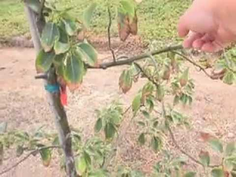 Avocado Tree Growing Water N Fertilizer Issues