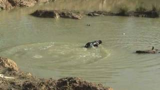 Steady - Labrador Retriever Training For Duck Hunting