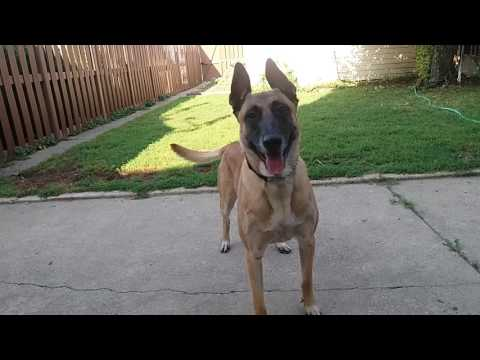 Before You Get A Belgium Malinois- WATCH THIS!!