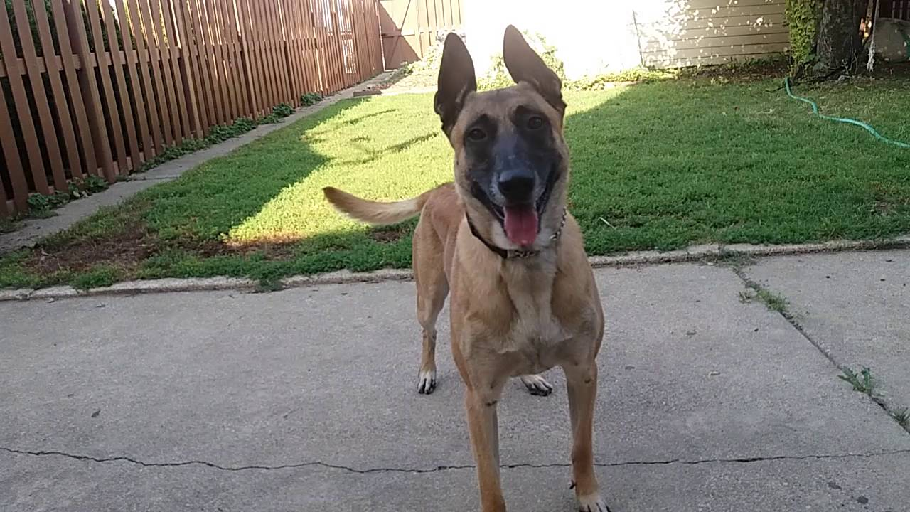 before you get a belgian malinois watch this youtube