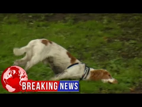 The dog who falls over when he's excited