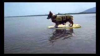 波乗り犬動画3♪