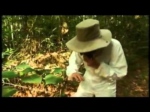Planta peligrosa en Australia Gympie-Gympie