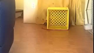 Corgi plays fetch with it self :)