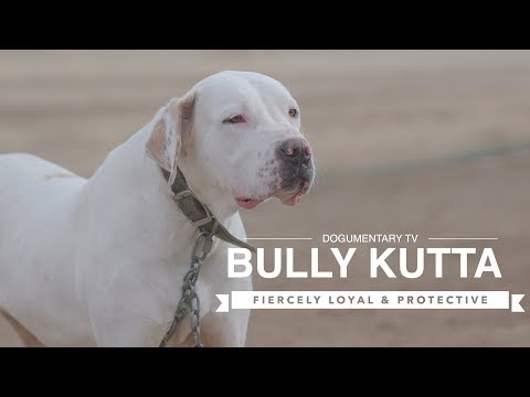 bully-kutta:-fiercely-loyal-and-protective