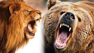 Медведь против льва. Кто сильнее?
