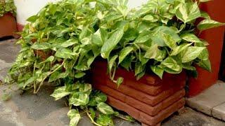 Como ter a Planta Jiboia bem Cheia Multiplicando por Folhas