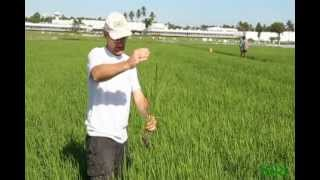 12. IRRI Agronomy Challenge: Crop Injury Assessment Close to Panicle Initiation (21 February 2012)