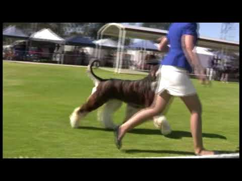 104th Afghan Hound Specialty NSW