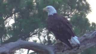 SWFL Eagles_All Harriet: Catch Mouse~Cast Huge Pellet~Search Horizon For Oz 06-14-15