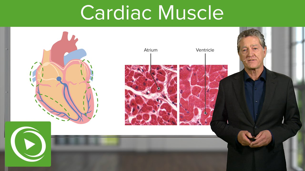 Cardiac Muscle: Function & Main Parts  – Histology | Lecturio