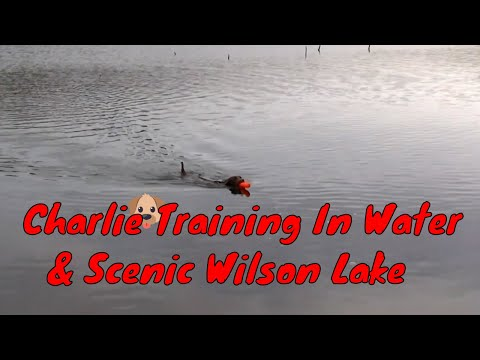 Chesapeake Bay Retriever Dog Training In Water With Charlie & Scenic Mountain Wilson Lake