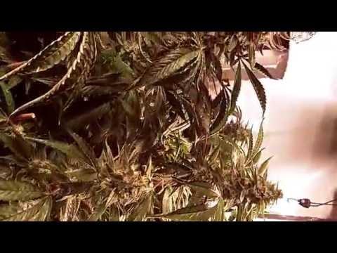 Maximum Marijuana Grow Challenge Day 66  HYDROSOIL