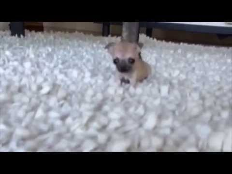 This puppy is so small that its barking sounds like a squeaky toy [MY BEST VINES]