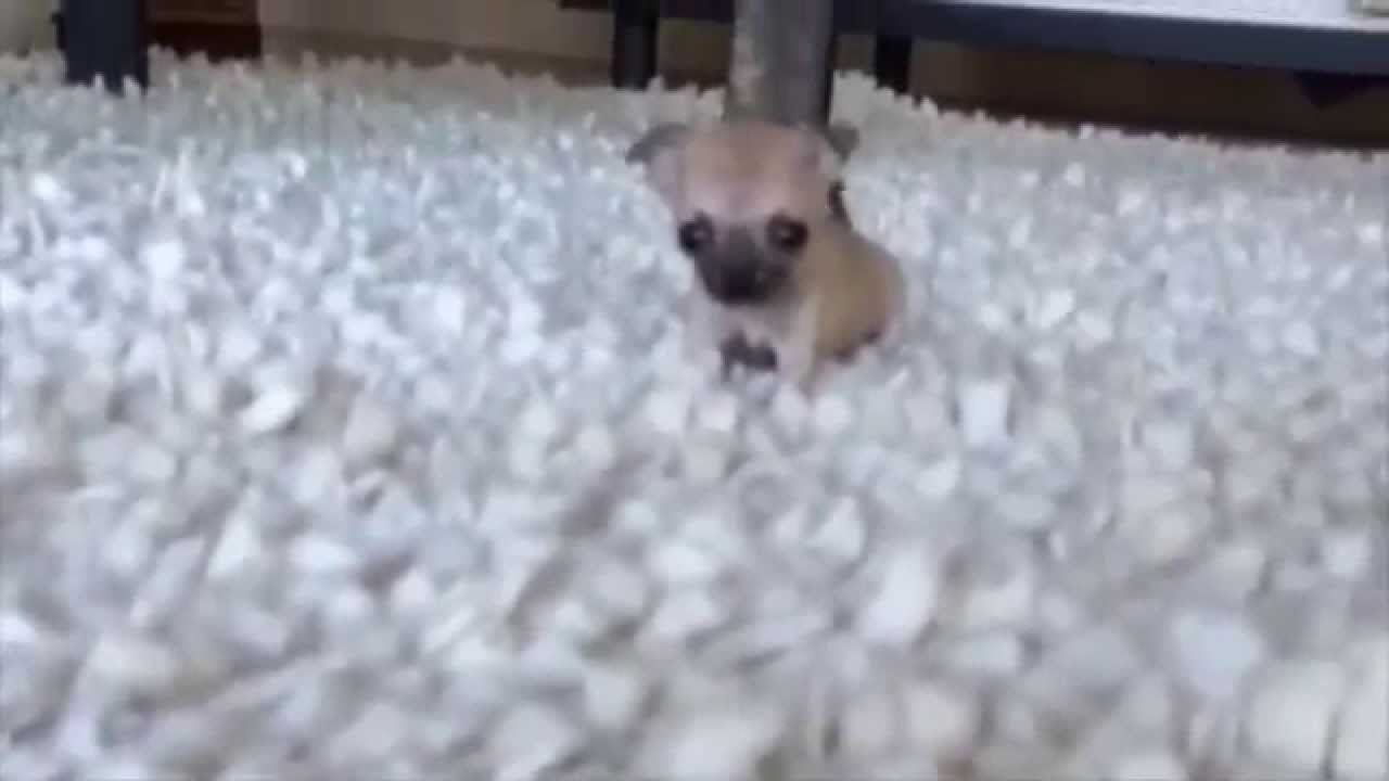 This Puppy Is So Small That Its Barking Sounds Like A
