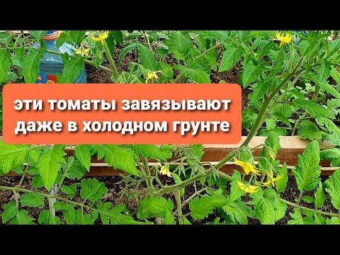 Могут ли завязаться помидоры в холоде  Самые стойкие томаты У Биатлона завязи на 4 кисти